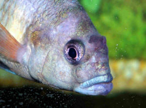 African Pea Cichlid | Faqs On African Cichlid Diseases 6